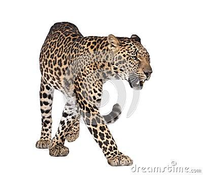 Portrait of leopard, Panthera pardus, walking