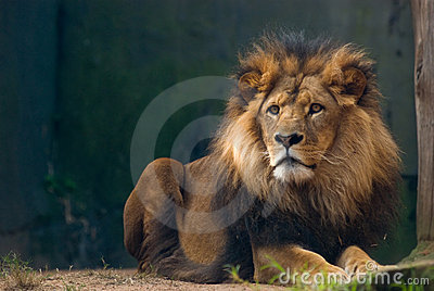 Portrait of a lion king