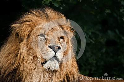 Portrait of  Lion Panthera Leo