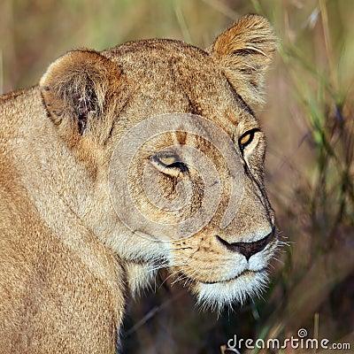 Portrait lioness