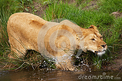 Portrait of a lioness in the water