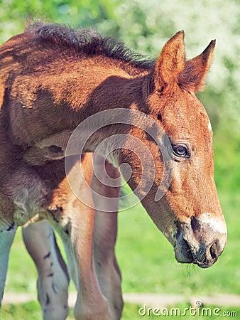Portrait of little chestnut  Hanoverian foal