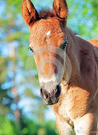 Portrait of little chestnut Hanoverian foal