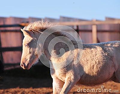 Portrait of a little cremello shetland pony foal