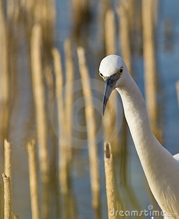 Portrait of a Little Egret