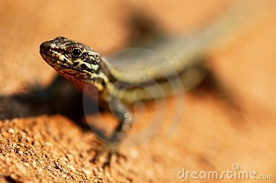 Portrait of lizard