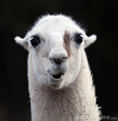 Portrait Of Llama Royalty Free Stock Photos - Image: 13785858