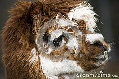 Portrait of llama alpaca