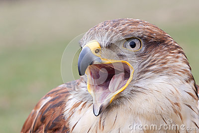 Portrait of a Long-legged Buzzard with open beak