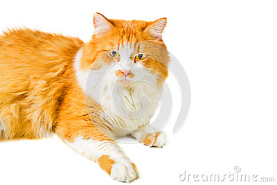 Portrait of lying orange and white cat