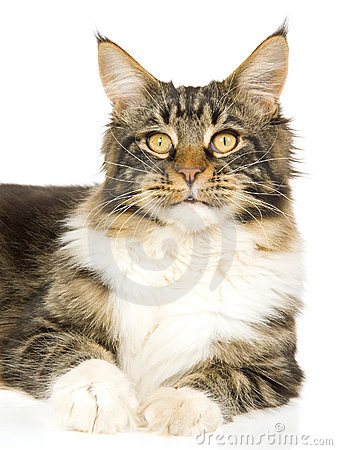 Portrait of Maine Coon cat