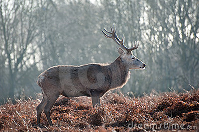 Portrait Of Majestic Red Deer Stag In Autumn Fall Stock Image - Image: 24232111