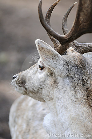 Portrait of male deer