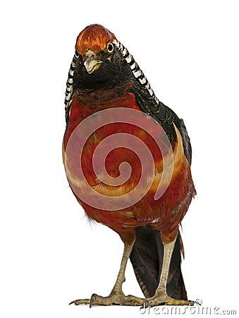Portrait of Male Golden Pheasant
