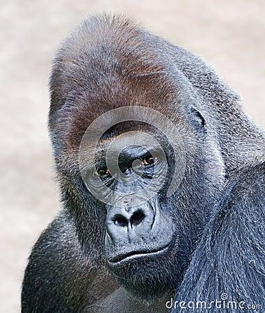 Portrait of a male gorilla
