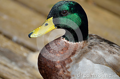 Portrait of mallard duck