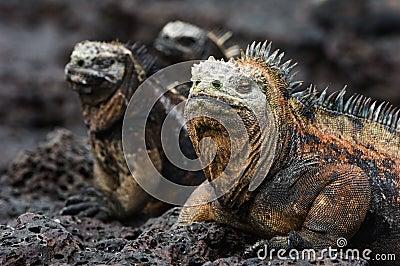 Portrait of the marine iguana with relatives.