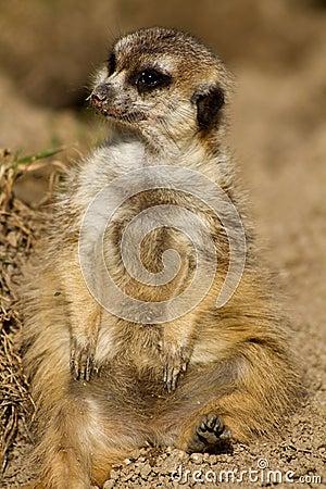 Portrait of a meerkat