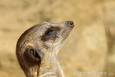 Portrait of a meerkat looking up
