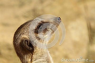 Portrait of a meerkat looking up