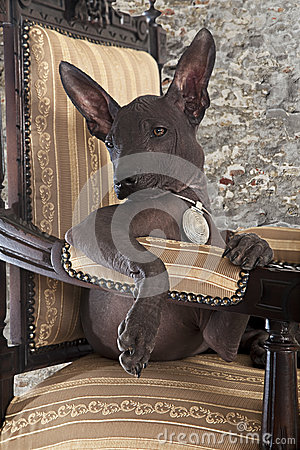 Portrait of Mexican xoloitzcuintle puppy
