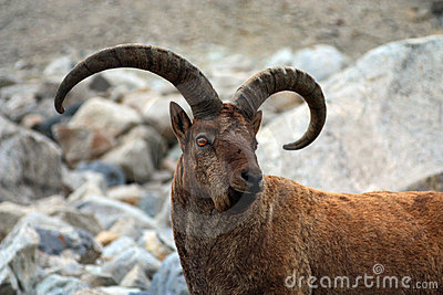 Portrait of a mountain goat