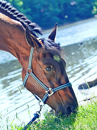 Portrait of  nice bay mare in river
