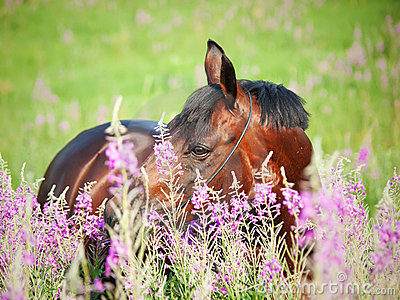 Portrait of nice  bay stallion around pink flowers