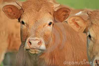 Portrait of nice brown cows in a field