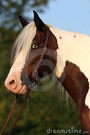 Portrait of nice horse - irish cob