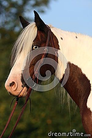 Portrait of nice horse - irish cob