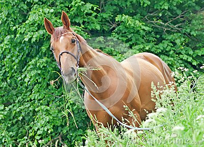 Portrait of nice red horse