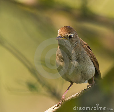 Portrait of a Nightingale