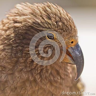 Portrait of NZ alpine parrot Kea, Nestor notabilis