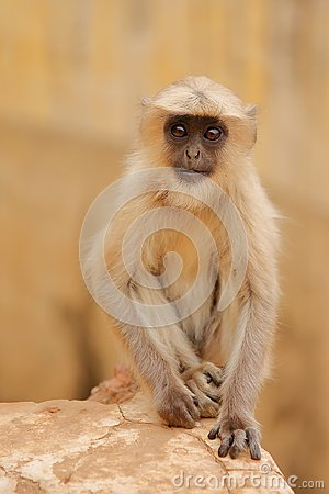 Free Portrait Of A Baby Gray Langur Near Amber Fort, Rajasthan, India Royalty Free Stock Photo - 108395195