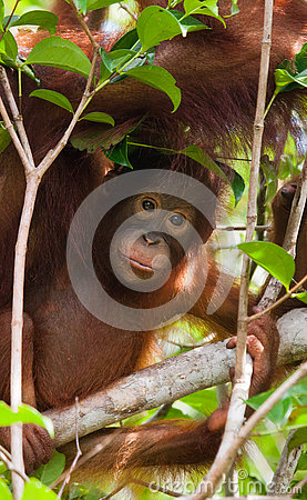 Free Portrait Of A Baby Orangutan. Close-up. Indonesia. The Island Of Kalimantan Borneo. Royalty Free Stock Photos - 79934698
