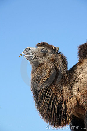 Free Portrait Of A Bactrian Camel Royalty Free Stock Photo - 18443945