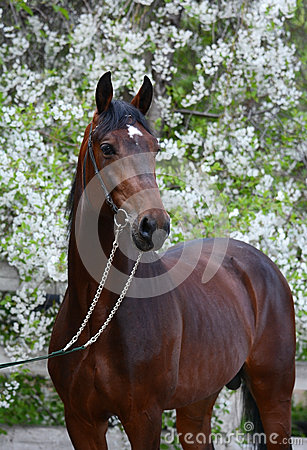 Free Portrait Of A Bay Stallion Stock Images - 72642144