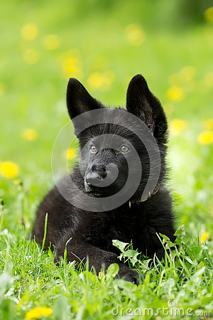 Free Portrait Of A Beautiful German Shepherd Puppy Of Black Colour. L Stock Images - 77208544