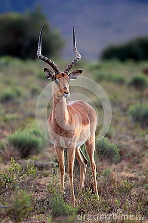 Free Portrait Of A Beautiful Impala Ram In South Africa Royalty Free Stock Photos - 42393918