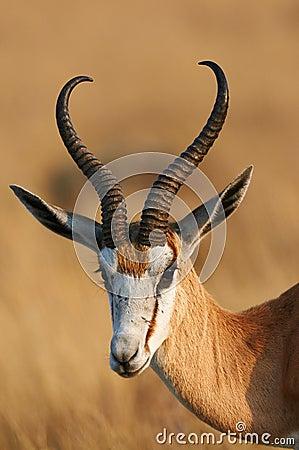 Free Portrait Of A Beautiful Springbok Royalty Free Stock Photo - 62627255