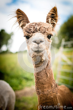 Free Portrait Of A Brown Alpaca Royalty Free Stock Photo - 87586655