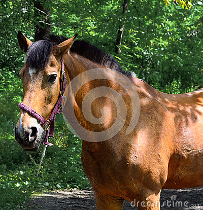 Free Portrait Of A Brown Horse Close Up. Royalty Free Stock Images - 75594849