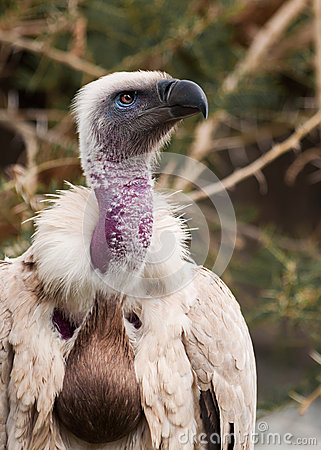 Free Portrait Of A Cape Vulture (Gyps Coprotheres) Royalty Free Stock Photos - 54242798