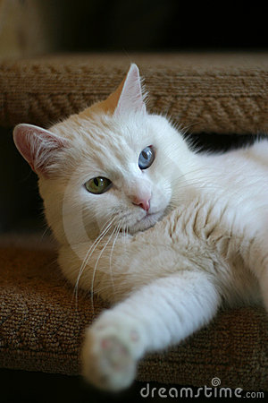 Free Portrait Of A Cat With Different Eyes Royalty Free Stock Image - 1591476