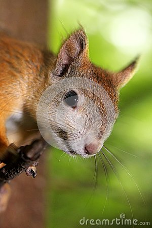 Free Portrait Of A Curious Squirrel Stock Images - 32869604