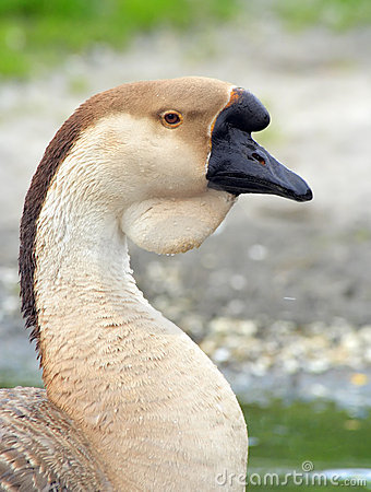 Free Portrait Of A Domestic Swan Goose Stock Photos - 13555923