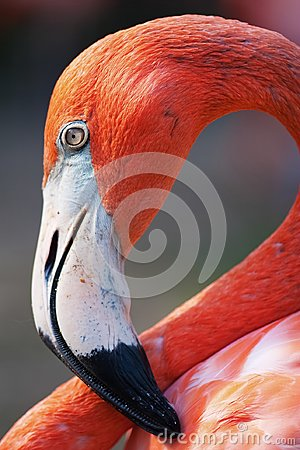 Free Portrait Of A Flamingo In Nassau Stock Photography - 111239612