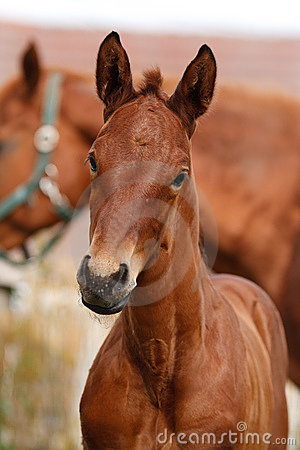 Free Portrait Of A Foal Stock Images - 15800284