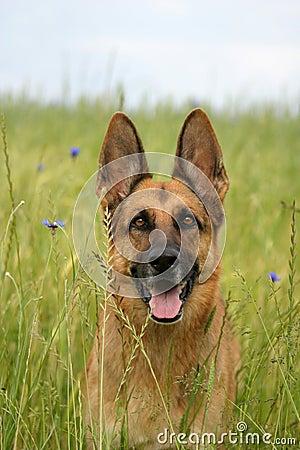 Free Portrait Of A German Shepherd Royalty Free Stock Photo - 753185